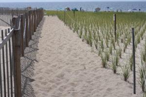 Beach grass plantings at Herring Cove.